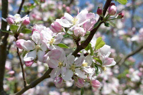 Apfelblüten2