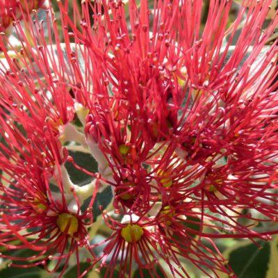 Blume-rot